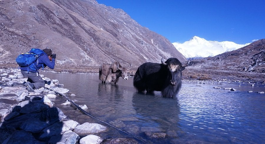 trekker taking picture of yak and mt choyu at gokyo lakes