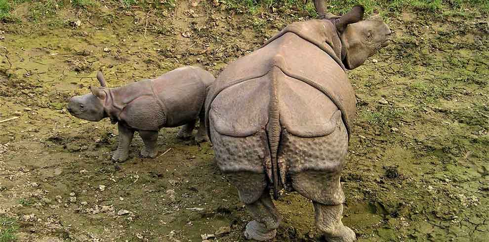 Family of one horned Rhino in an adventure excursion