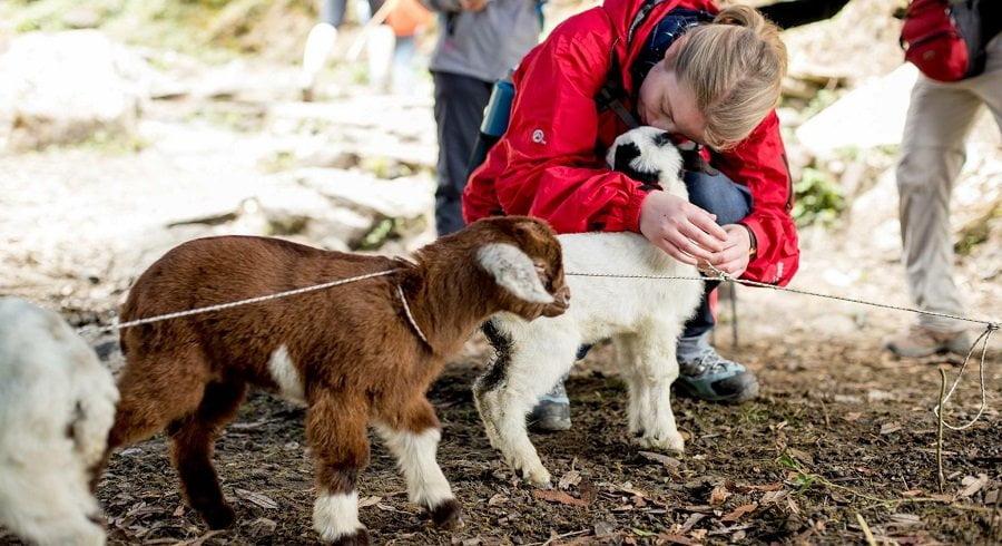 Goat love explored in poonhill trekking