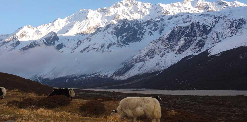 white yak grazing in Kyanjing village