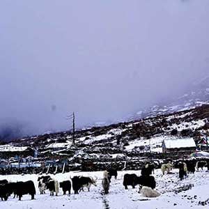 Yaks seen in our tamang heritage hike